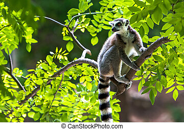 Lemur catta - Ring-tailed, lemur on branches