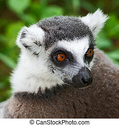 Lemur face close up