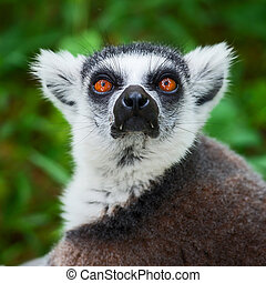 Lemur catta - Ring-tailed, lemur face close-up