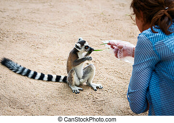 Lemur catta - Ring-tailed, Tourists taking a lemur eats the...