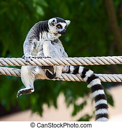Lemur catta - Ring-tailed, lemur Sitting on a rope