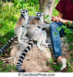 Lemur catta - Lemur sitting with two tourists.