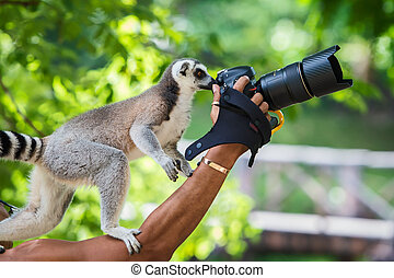 Lemur catta. - Lemur interesting camera.