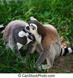 Lemur catta - Ring-tailed, lemur mother and son embracing...