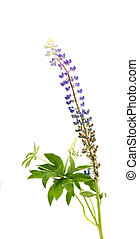 Colorful flowers - Lupine, on white background.