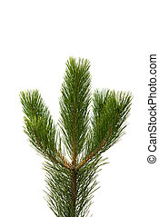 pine branch on a white background
