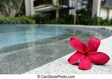 Frangipani flowers on the pool side - Frangipani flowers on...