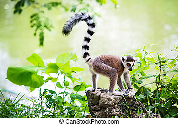 Lemur catta - Ring-tailed lemur with a backdrop of the pool.