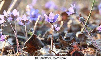 Spring flowers. Anemone hepatica blooming in the forest....
