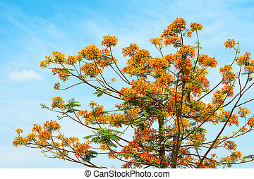 Royal Poinciana, Flamboyant, Flame Tree, that is the way of...