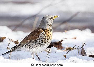snowbird in the snow - The photo shows a snowbird in the...