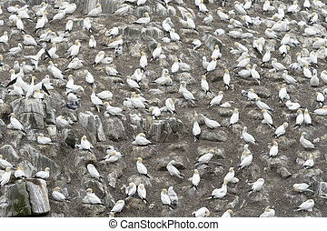 Northern Gannet (Morus bassanus) colony and nesting on...