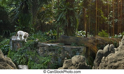 White Tiger Pacing Nervously on a Rock at the Zoo -...