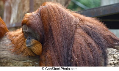 Mature Orangutan Lounges on a Log at the Zoo. FullHD video -...