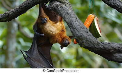 Sleepy Fruit Bat Hangs from a Branch at the Zoo - Sleepy...