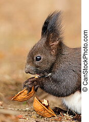 cute little red squirrel eating nut