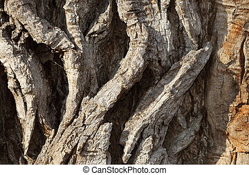 detail of very old poplar tree bark, natural real texture