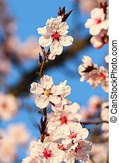 japanese cherry tree beautiful flowers - japanese cherry...