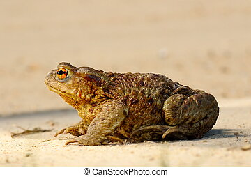profile view of brown common toad ( Bufo, female )