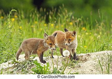 red fox siblings - european red fox siblings playing near...