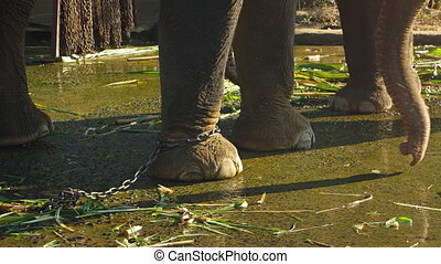 Elephant with Passenger Platform, Tied by a Chain in Vietnam...