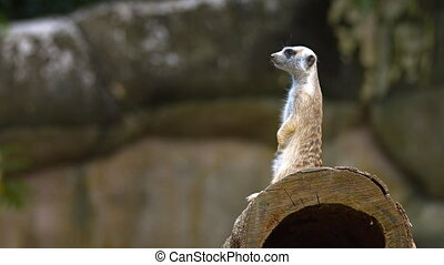 Adult Meerkat Stands Guard over Den at the Zoo - Adorable,...