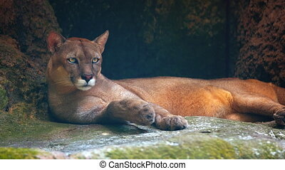 Adult Cougar at a Public Zoo - Adult cougar lies lazily on a...