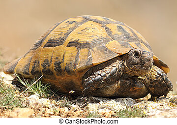 spur-thighed tortoise closeup, wild animal hatched from...