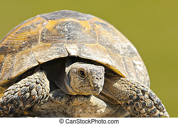 Testudo graeca close up over green background, portrait of...