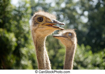 Ostriches or common ostrich or Struthio camelus relax in...