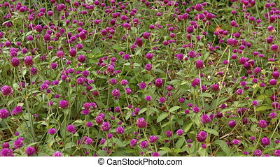 Field of Magenta Bachelor Buttons in a Light Breeze - Field...