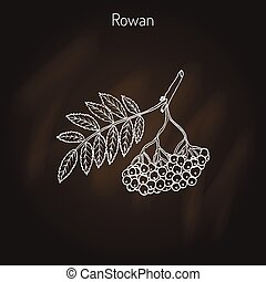 Rowan or mountain-ash tree branch with berries. Vector...