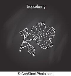 Gooseberry branch vector - Hand drawn green gooseberry...