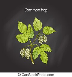 Common hop branch. Hand drawn vector illustration