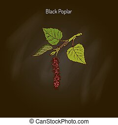 Black poplar tree - Populus nigra, black poplar. Hand drawn...