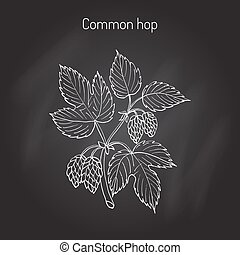 Common hop branch