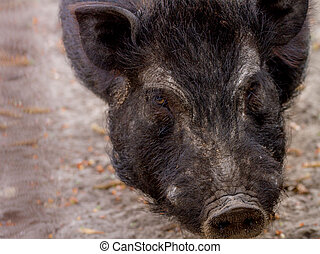 mammal pet pig in a black enclosure - image mammal pet pig...