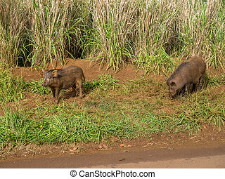 Feral pigs, Kauai - Feral pigs in the uplands on the...