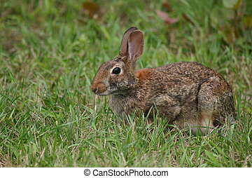 Wild Rabbit - This Wild Rabbit in medium high grass munching...