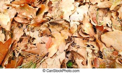 Oak leaves. Autumn park ground with carpet of dry orange oak...
