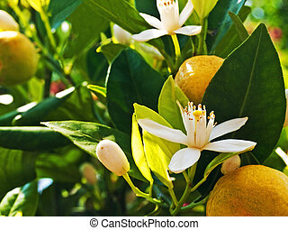 Calamondin mandarin with blossom and fruit