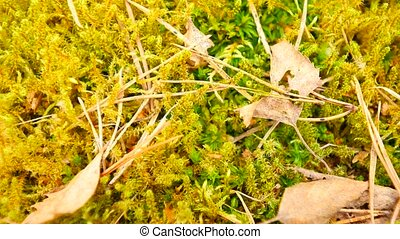 Old yellow leaves fallen on dry moss.Dry small plants of moss, dry pine needles and dry oak leaves. Forest ground a beginning of spring. Camera moving close up to ground.