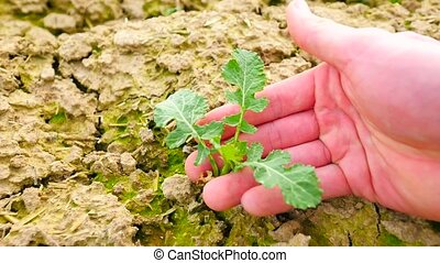 Pink skin hand yanks a small oilseed rape plant from wet...