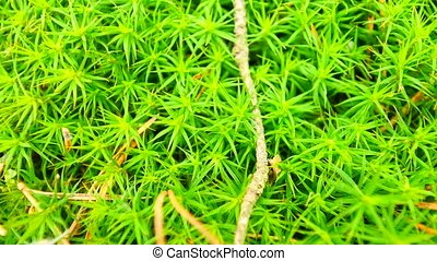 Fresh green wet moss on ground with  leaves fallen. Dry pine needles, twigs and dry leaves in green moss. Forest ground at beginning of spring. Camera moving close up to ground.