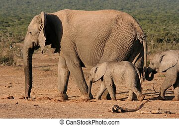 Elephant Mother and Children - Elephant mother leading her...