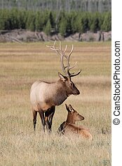 Pair of Elk