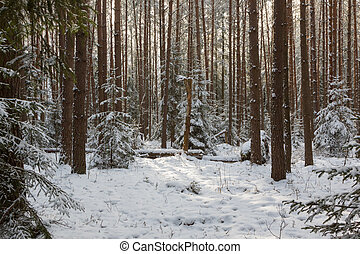 Winter landscape of coniferous forest in sunset light with...