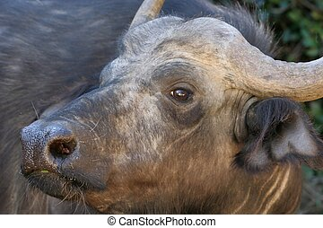 Cape Buffalo Portrait - Close up of a Cape Buffalo with...