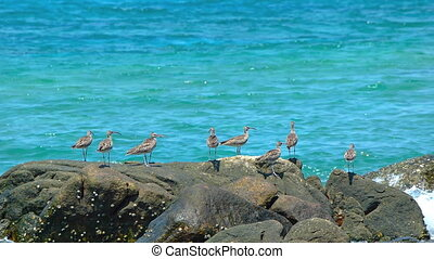 Fling of Sandpipers on a Rocky Tropical Beach in Phuket,...