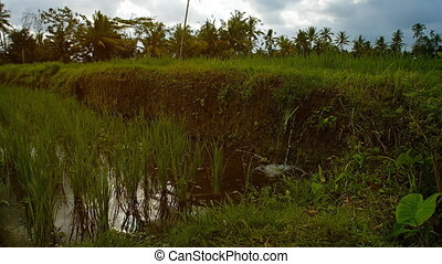 Water in the rice field irrigation system. - The water in...